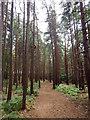 SU9464 : Pine Woods : Week 29