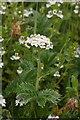 HP6516 : Yarrow (Achillea millefolium), Skaw, Unst by Mike Pennington