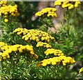 TM4097 : Tansy  (Tanacetum vulgare) - flowers by Evelyn Simak