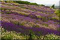 SE6670 : Yorkshire Lavender : Week 29