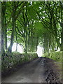 SX1274 : Avenue of beech trees at Carbaglet by Rod Allday