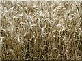 SJ6679 : Barley by Anthony O'Neil