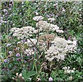 TG3203 : Water mint and Wild Angelica by Evelyn Simak