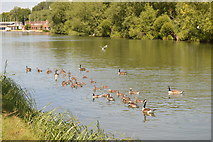 SP5204 : Geese on the River Thames by N Chadwick