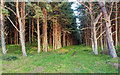 NH7956 : Scots Pine by valenta