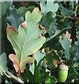 TG3204 : Macrodiplosis pustularis galls on oak by Evelyn Simak