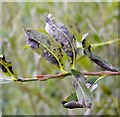 TG3204 : Willow scab or black canker on Grey willow (Salix cinerea) by Evelyn Simak