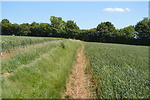 TL5334 : Footpath through wheat by N Chadwick
