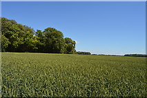 TL5334 : Wheat near Rosy Grove by N Chadwick