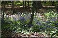 TQ5742 : Bluebells, Southborough Common by N Chadwick