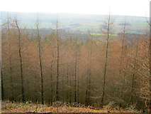 SK2467 : Larch plantation at Manners Wood by Trevor Rickard