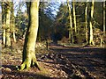 SP8202 : Woodland, Great Hampden by Andrew Smith