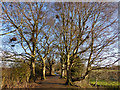 SJ6267 : Four birches by Stephen Craven