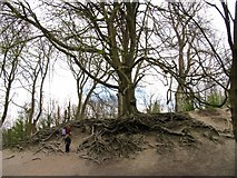 TQ1412 : Fascinating Tree en route to Chanctonbury Ring Fort by Pam Brophy