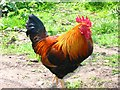 TM1179 : Feral chicken by John Went