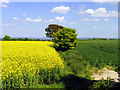 SU4888 : Rapeseed and Wheat Farmland near Rowstock and Harwell by Pam Brophy