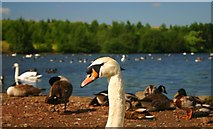 SE4527 : Wildfowl at Fairburn Ings by Toby Speight