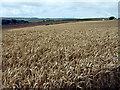 SW8557 : Wheat field by Sheila Russell