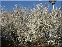 SE6352 : Blossom on Metcalfe Lane, Osbaldwick by Pete Fenelon