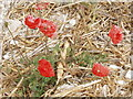 SP7800 : Poppies in a cut cornfield, near Bledlow by David Hawgood