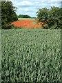 TG0626 : Poppy Field by Tom Stringer
