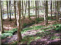 NX9471 : Mabie Forest with Bluebells by Iain Thompson