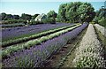 TF6837 : Lavender Fields at Norfolk Lavender, Heacham, Norfolk by Christine Matthews