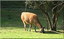 SW7652 : Llama by Tony Atkin