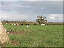 SJ3952 : Cattle grazing by Ridley Wood by John Haynes