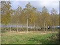 TL0734 : Poplar plantation, Silsoe, Beds by Rodney Burton