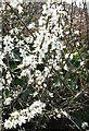 SX4150 : Blackthorn in Flower by Tony Atkin