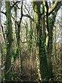 SW5634 : Winter Woodland by Tony Atkin