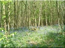 TQ7130 : Yellowcoat Wood by David Saunders