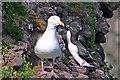 NO8880 : Nesting birds on Henry's Scorth by Bill Irving