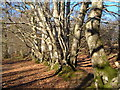 SX8179 : Beech trees, Bearacleave Wood, Bovey Tracey by Derek Harper
