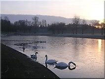 NS6265 : Swans at Sunrise, Alexandra Park by Chris Upson