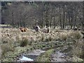 NN1904 : Cattle beside the River Goil by Richard Webb