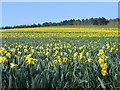 TG2806 : Field of Daffodils, Kirby Bedon by Graham Hardy