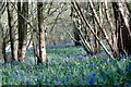 SU8369 : Bluebells in Pockets/Pococks Copse by Colin Haywood-Gray