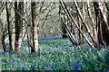SU8369 : Bluebells in Pockets/Pococks Copse by Colin Haywood-Gray