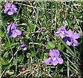 SW6938 : Violets - Viola riviniana by Tony Atkin