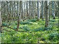 NR3462 : A spring morning in the woods by Patrick Mackie
