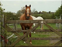 TL6636 : Horses near Tinkers Green, Essex by Robert Edwards