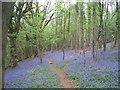 SO5308 : Offa's Dyke Path through bluebells in Highbury Wood by Tim Heaton