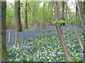 SO5308 : Wild garlic and bluebells in Highbury Wood by Tim Heaton