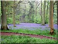 SP8908 : Bluebells in Wendover Woods by Rob Farrow