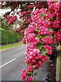 Dist:0.1km<br/>This tree is in Holly Avenue, near Grange Road. At this time of year hedges along many roads are white with hawthorn. This type of pink ornamental thorn is seen frequently in towns. There are several varieties of pink thorn in the Crataegus family.