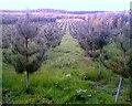 SJ5869 : Tree Nursery, Oakmere by Jo Lxix