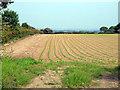 SJ6043 : Crop growing in field by Nigel Williams