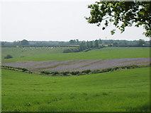 SP8200 : Phacelia on Kingswood Farm near Speen by David Hawgood